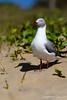 Gabbiano testa grigia (Don Chisciotte89) Tags: gabbiano africa beach bird capo south bay sodwana nikon d500 seagull
