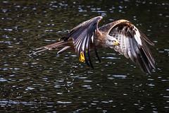 Red kite at Nant yr Arian (Explore) (babs pix) Tags: redkites nantyrarian birdofprey birds ceredigion westwales wildlife