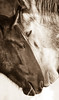 wild horses (Jami Bollschweiler Photography) Tags: wild horses west desert utah wildlife photography onaqui herd amazing stallions fighting white together cuddle loving