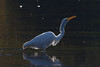 388.jpg (Kico Lopez) Tags: miño lugo spain galicia birds garcetagrande rio ardeaalba aves