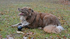 Jaggedy Teeth (One Day Of Sun -- It's So Lovely!!!) Tags: ddc 2207 jagged teeth shizandra dog panting inthebackyard playingball