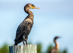 Cormorant - Odens Dock (MurrayH77) Tags: nc obx outer banks hatteras island bird cormorant