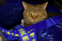 KADSØ (Siggital) Tags: kadse katze kitty kenny kitteh cat caturday ikea fun justkidding