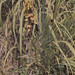 Crotalaria. Mountain pasture. Usumbara