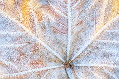 Fusion of Fall and Frost (Geolilli) Tags: abstract autumn background backgrounds beauty botany brown close closeup color colorful fall fiber flora foliage leaf leaves macro nature pattern season texture textured veins yellow canon winter ice 100mm