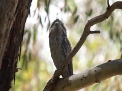 Sleepy Tawny Frogmouth.Podargus strigoides. (ron_n_beths pics) Tags: westernaustralia perthbushlands birds frogmouth podargusstrigoides