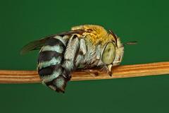 2nd of the season (affectatio) Tags: macro mpe65 bug insect bee nativebee australiannativebee bluebandedbee sleepingbee sleeping roostingbee roosting 6d canon6d focusstack zerene zerenestacker