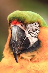 Who's a pretty boy (daveashaw) Tags: parrot macaw yello green bird animal longleatsafaripark zoo nikond500 tamron150600mm wildlife nature