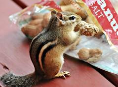 ~Self Service.....??~ (nushuz) Tags: alvin friend helinghimselftoabagofpeanuts fromdaysgoneby chippy chipmunk cutenessoverload myporch vt peanuts