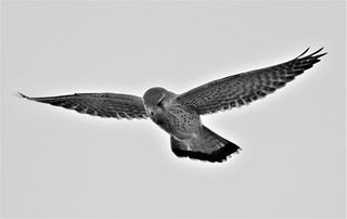 Kestrel - Black and White