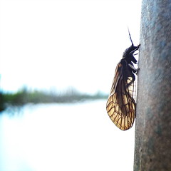 Alder fly (Daniel James Greenwood) Tags: nokialumia mobilephonephotos danielgreenwood danielgreenwoodphotography