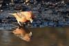 Parrot Crossbill Santon Warren Norfolk 4 (JohnMannPhoto) Tags: parrot crossbill santon warren norfolk bird drinking