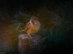 Moineau. (Crilion43) Tags: arbres région véreaux feuillesfeuillage moineaux centre oiseaux paysages animaux villes