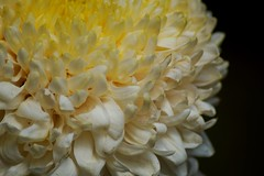 Mum (hanley.will) Tags: mum chrysanthemum flower sarahpdukegardens dukegardens duke university macro