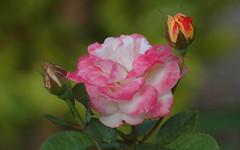 Beautiful Rose (shelley.sparrow) Tags: beautifulrose beauty nikon shelleysparrow brisbane queensland australia nature rosebuds perfume