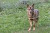 Canis lupus signatus (Carolina Aparicio Ayora) Tags: lobo iberico wolf