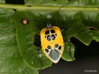 Pretty shield bug, Runibia decorata, Pentatomidae
