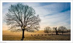 Frosty Morning (Explored, thank you!) (John Penberthy LRPS) Tags: d750 johnpenberthy nikon richmond richmondpark winter frost animal deer grass landscape sky tree explore explored