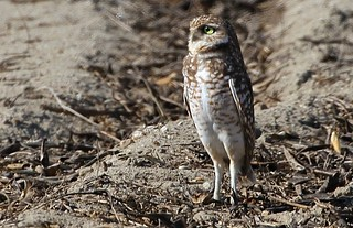 Burrowing Owl - standing tall