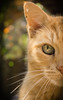 Golden Cat (Waddy Stryker) Tags: orange cat goldenhour pet eyes cateye catlover bokeh depthoffield depth golden animal