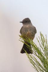 say's phoebe (lee barlow) Tags: nikon800mm greenvalley birdsofarizona birdsofnorthamerica arizona ngc leebarlow saysphoebe nikon d7200 sayornisphoebe