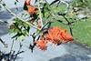 Cinnyris afer (Nectariniidae) on Erythrina (yakovlev.alexey) Tags: nectariniidae tsitsikammanp southafrica
