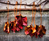 Autumn Ivy (Dalliance with Light (Andy Farmer)) Tags: ivy autumn princetonuniversity ivyleague leaves wall fall upclose vine princeton newjersey unitedstates us