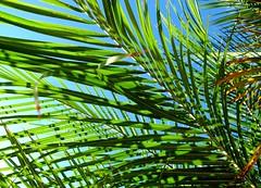 Palm Sunday (Bennilover) Tags: blue skies trees tree palms palm frond sunny california november sunday explore