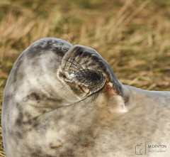 Facepalm (mikedenton19) Tags: grey seal greyseal halichoerus grypus halichoerusgrypus pup young donna nook donnanook nature reserve naturereserve lincolnshirewildlifetrust lincolnshire wildlife trust lwt sleep sleeping louth baby