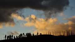 Survivors (Marc Briggs) Tags: mdb0821aw tree trees yosemite fire wildfire forestfire skeletal dead pine conifer sun clouds sunset forest