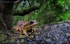 Common Tree Frog. (MCSindagi) Tags: wideanglemacro g3x canon powershot kabini snapseed nagarhole treefrog westernghats closeups powershotg3x amphibians frogs karnataka