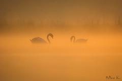 Conversation (mirosławkról) Tags: poland silesia sunrise wild wildlife bird swan orange pond lake water
