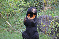 IMG_0869 (jaybluejeans94) Tags: chester zoo bear chesterzoo sunbear wild animal animals nature