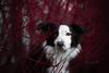 Mila (mona_hoehler) Tags: border collie dog pet animal duesseldorf red autumn outdoor beauty love girl model shooting nikon tamron germany dark