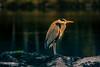 Al caer la tarde (Raymar Photo) Tags: garza real miño ourense galicia sony a6300 portrait retrato zancudas bird