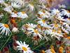 Full Of Flowers (Khaled M. K. HEGAZY) Tags: nikon coolpix p520 orabi egypt nature outdoor closeup macro daisy stamen pistil plant flower petal foliage garden green yellow brown white orange