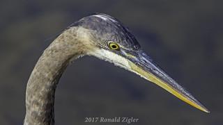 Great Blue Heron IMG_6355