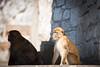 Standing Guard (RoamingTogether) Tags: 70200vrii barbaryape barbarymacaque europe gibraltar macaque magot nikon nikon7020028 nikond700 rockofgibraltar
