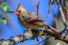 Northern Cardinal (Female) (Rafael Arvelo C.) Tags: cardinal philadelphia