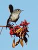Blue-gray Gnatcatcher on Brazilian Pepper 01-20171205 (Kenneth Cole Schneider) Tags: florida miramar westmiramarwca