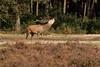 IMG_5771 (Photo-Pas) Tags: edelhert hogeveluwe bronsttijd bronst nationaalparkhogeveluwe