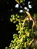 ...a la espera del vino... (puesyomismo) Tags: uva raleo granos verde macro parra vid grape thinning grains green grapevine vine trauben ausdünnung körner grün makro weinrebe raisin éclaircie vert vigne