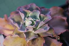 高砂之翁 (傲慢與偏見) Tags: succulent sony sigma