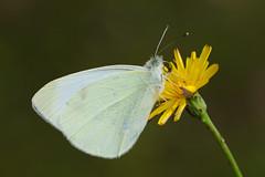 Pieris rapae (4) (JoseDelgar) Tags: insecto mariposa pierisrapae 425874288735056 josedelgar naturethroughthelens alittlebeauty coth fantasticnature coth5 ngc npc