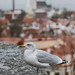 Seagull in the city