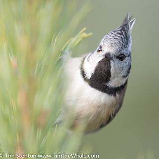 Crested Tit (Lophophanes cristatus)- 29 Nov-17-21148