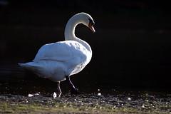 Schwan am Ufer (Jasardpu) Tags: schwan rhein ufer tier vogel animal bird