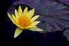 Water Lilly- Yellow (Udayabhanu Murthy) Tags: waterlillies centralwestend forestpark stlouis jewelbox
