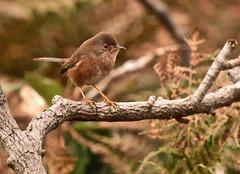 Dartford warbler (Ratsiola) Tags: elements warblers red brown bracken nature wildlife naturalworld environment dartfordwarblers perching eyes autumn richmondpark