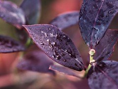 Blueberry (piranhabros) Tags: leaf leaves blueberry plant fall december purple color bokeh